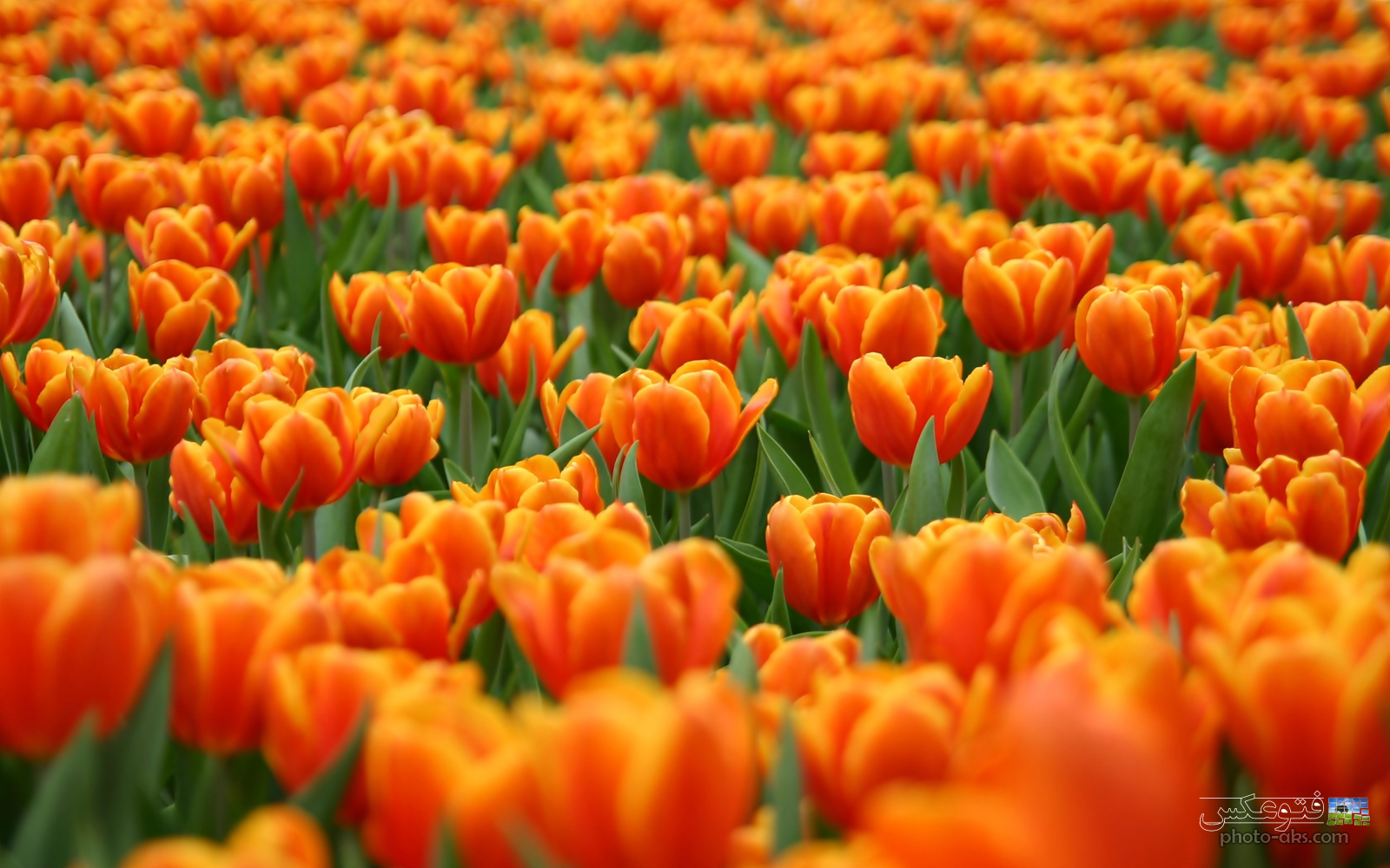 tulips_orange_holand
