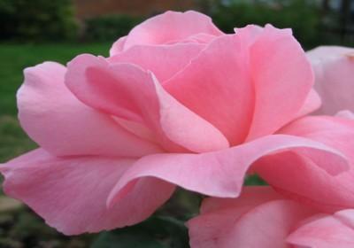Rosa_Queen_Elizabeth1ZIXIETTE