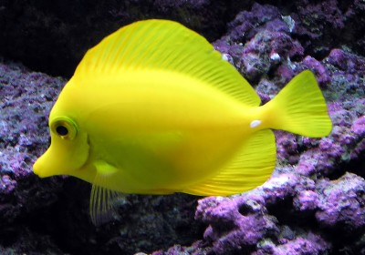 Yellow.tang.arp