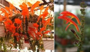 Columnea-microphylla-2